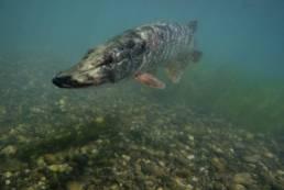 Photo d'un brochet en subaquatique
