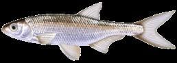 ablette les differentes especes de poissons dans le nord