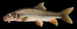 barbeau les differentes especes de poissons dans le nord