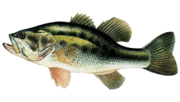 black bass les differentes especes de poissons dans le nord