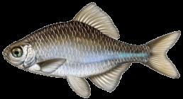 bouviere les differentes especes de poissons dans le nord