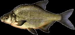 breme commune les differentes especes de poissons dans le nord