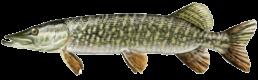brochet les differentes especes de poissons dans le nord