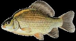 carassin les differentes especes de poissons dans le nord