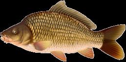 carpe commune les differentes especes de poissons dans le nord
