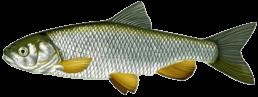 chevaine les differentes especes de poissons dans le nord