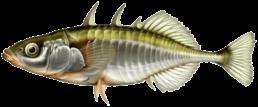 epinoche les differentes especes de poissons dans le nord