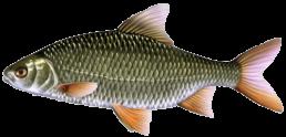 gardon les differentes especes de poissons dans le nord