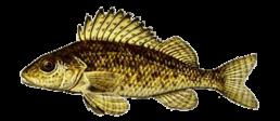 gremille les differentes especes de poissons dans le nord