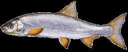 hotu les differentes especes de poissons dans le nord