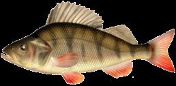 perche les differentes especes de poissons dans le nord