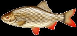 rotengle les differentes especes de poissons dans le nord