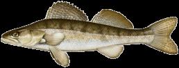 Sandre les differentes especes de poissons dans le nord