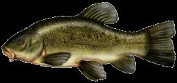 tanche les differentes especes de poissons dans le nord