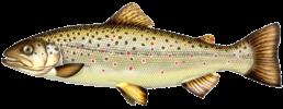 truite fario les differentes especes de poissons dans le nord