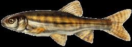 vairon les differentes especes de poissons dans le nord