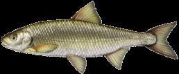 vandoise les differentes especes de poissons dans le nord