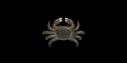 crabe chinois envahissant